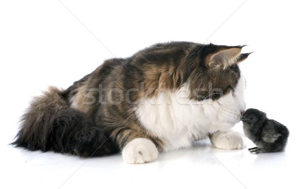 ストックフォト: メイン州 · 猫 · ひよこ · 白 · 友達 · 鶏