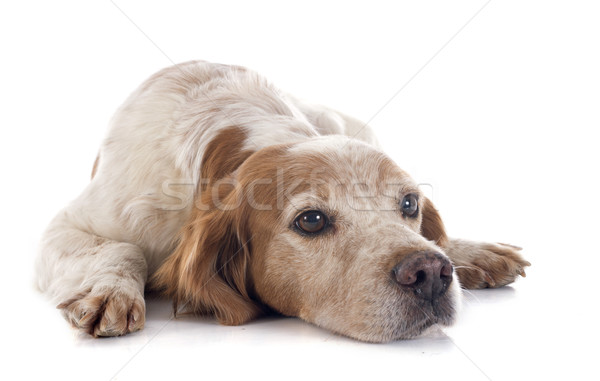 brittany spaniel Stock photo © cynoclub