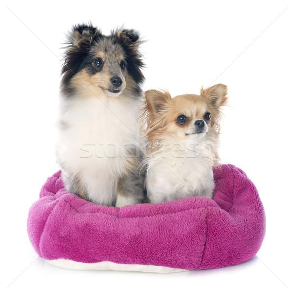 shetland puppy and chihuahua Stock photo © cynoclub