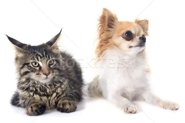 Maine kitten kat vrienden studio huisdier Stockfoto © cynoclub