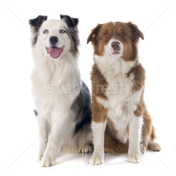 Foto stock: Australiano · cão · azul · animal · de · estimação · isolado · fundo · branco