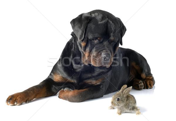 Europese konijn rottweiler witte baby bunny Stockfoto © cynoclub