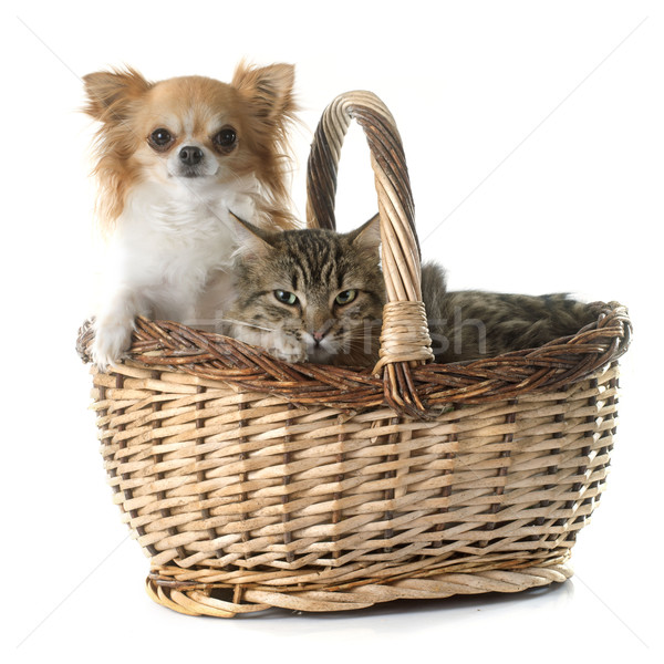 tabby cat and chihuahua in basket  Stock photo © cynoclub