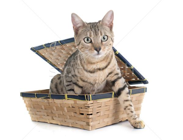 bengal cat silver Stock photo © cynoclub