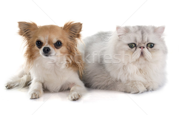 Stockfoto: Perzische · kat · dier · studio · kitten · zilver · witte · achtergrond