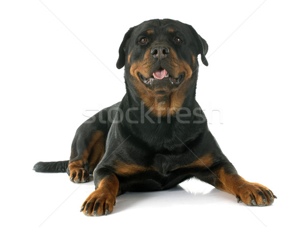 Rottweiler blanche Homme animaux animal Photo stock © cynoclub