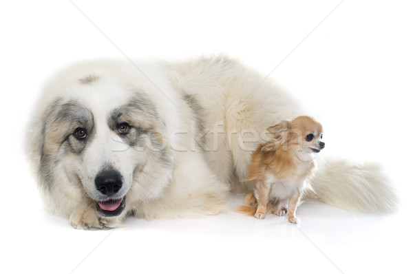 Pyrenean Mountain Dog and chihuahua Stock photo © cynoclub