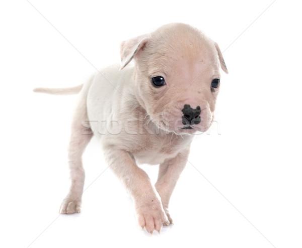 puppy american bulldog Stock photo © cynoclub