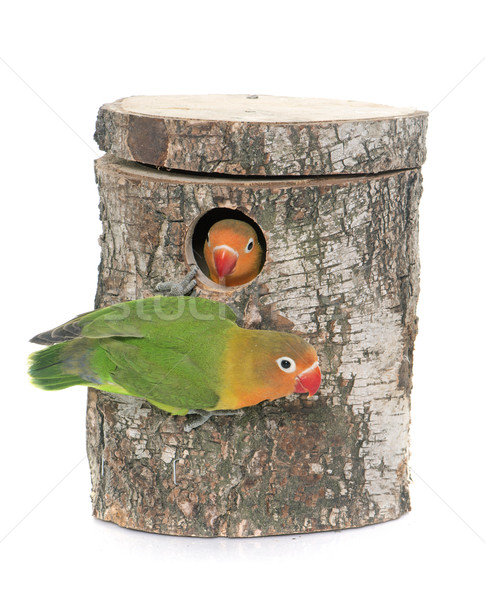 bird nest box and lovebird Stock photo © cynoclub