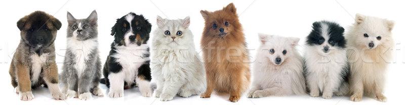 Zdjęcia stock: Szczeniąt · kotek · biały · psa · kot · grupy