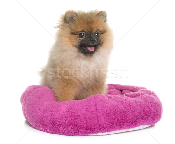 young pomeranian dog Stock photo © cynoclub
