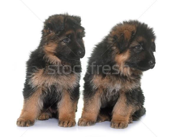 Stock fotó: Kiskutyák · juhász · fehér · állat · stúdió · kutyakölyök