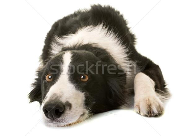Бордер колли студию белый черный щенков ПЭТ Сток-фото © cynoclub