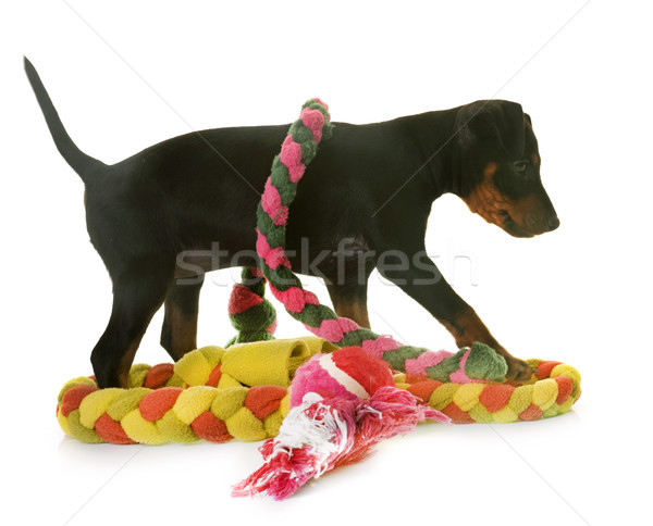 Stock photo: puppy manchester terrier