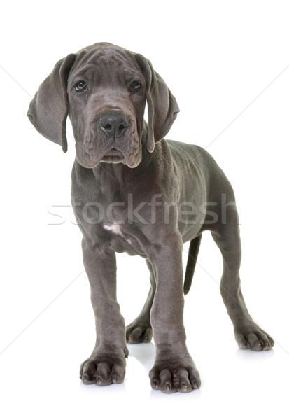 puppy great dane Stock photo © cynoclub