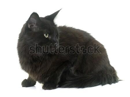 黒猫 スタジオ 白 目 黒 暗い ストックフォト © cynoclub