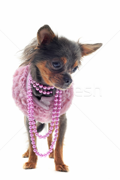 chihuahua with pearl collar Stock photo © cynoclub
