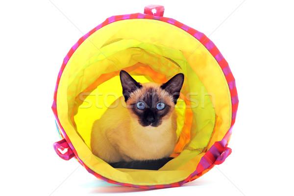 Játszik sziámi macska gyönyörű fajtiszta fekszik alagút Stock fotó © cynoclub