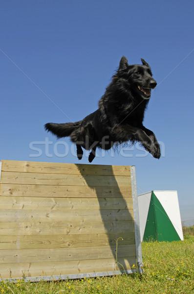 Atlama siyah köpek eğitim Stok fotoğraf © cynoclub