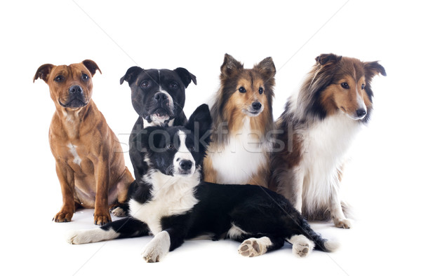 five dogs Stock photo © cynoclub