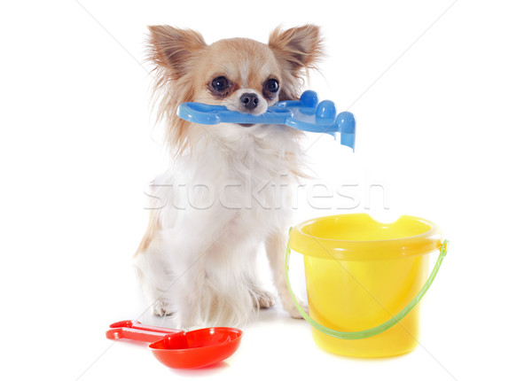 chihuahua in holidays Stock photo © cynoclub