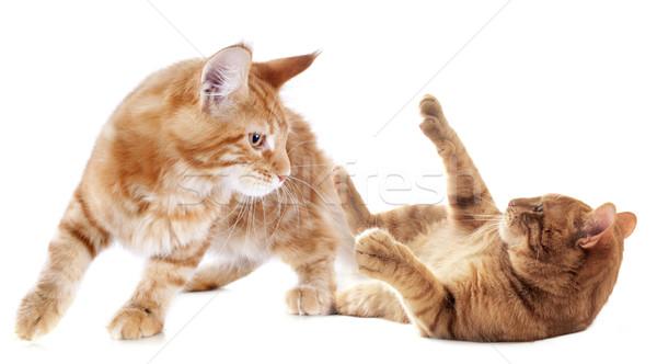 Stock fotó: Játszik · kiscica · gyömbér · fehér · macska · fiatal