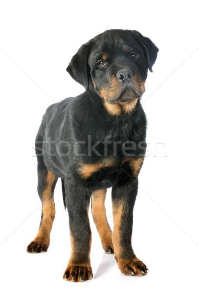 rottweiler Stock photo © cynoclub