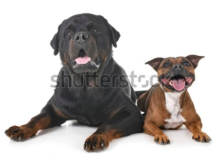 ротвейлер портрет щенков черный молодые Сток-фото © cynoclub