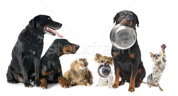 hungry pets Stock photo © cynoclub