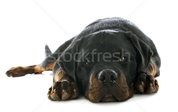 Chiot rottweiler portrait blanche noir Photo stock © cynoclub