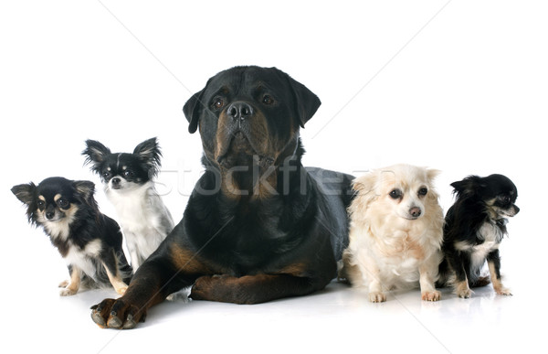 chihuahuas and rottweiler Stock photo © cynoclub