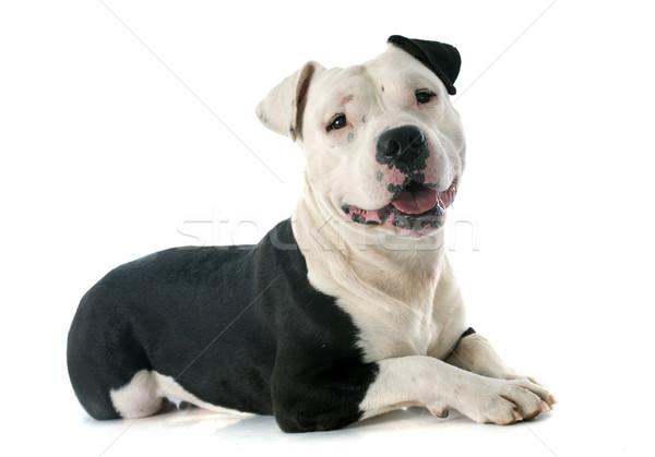 Staffordshire terrier fajtiszta fehér fekete állat férfi Stock fotó © cynoclub