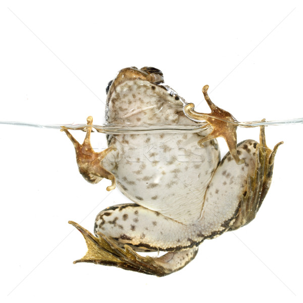 common frog Stock photo © cynoclub
