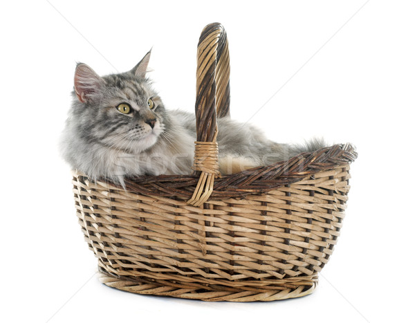 maine coon cat and basket Stock photo © cynoclub