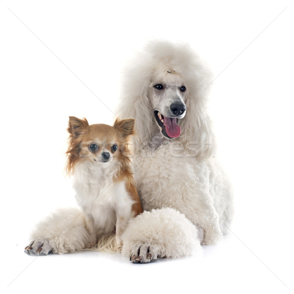 white Standard Poodle and chihuahua Stock photo © cynoclub