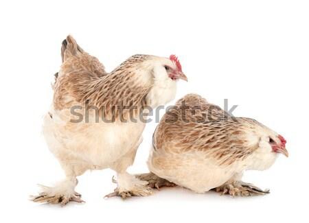 brahma chicken and kitten Stock photo © cynoclub
