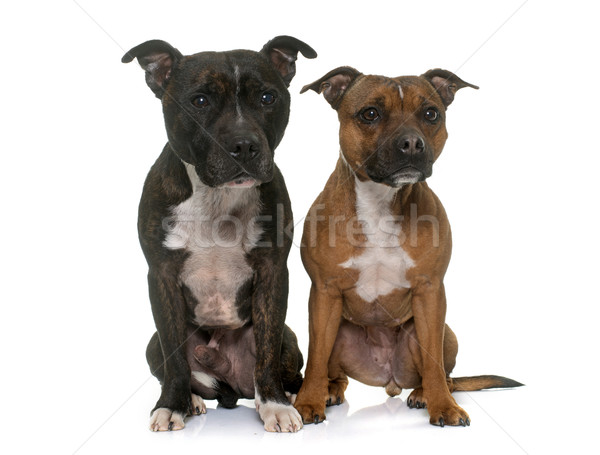 two staffordshire bull terrier Stock photo © cynoclub