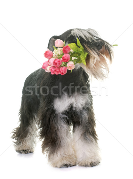black and white miniature schnauzer and flower Stock photo © cynoclub