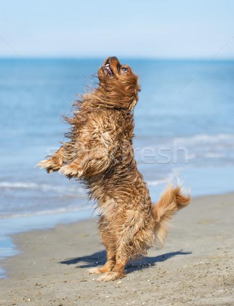 cavalier king charles on beach Stock photo © cynoclub