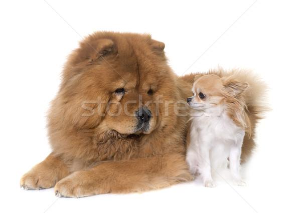 chow chow dog and chihuahua Stock photo © cynoclub