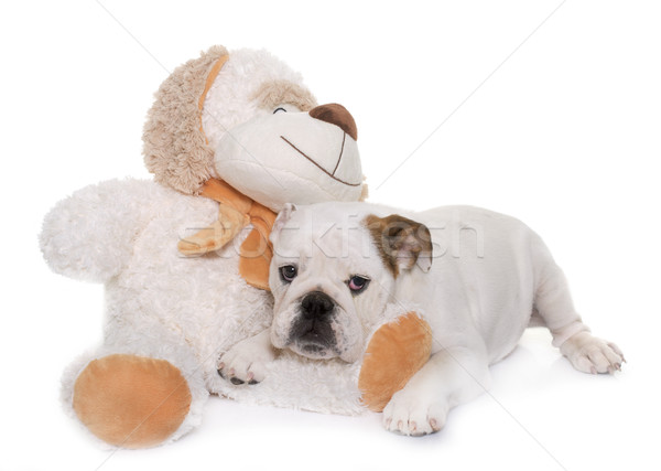 puppy english bulldog and toy Stock photo © cynoclub