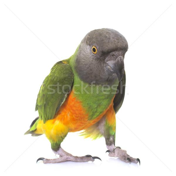 Szenegál papagáj stúdió fehér madár toll Stock fotó © cynoclub