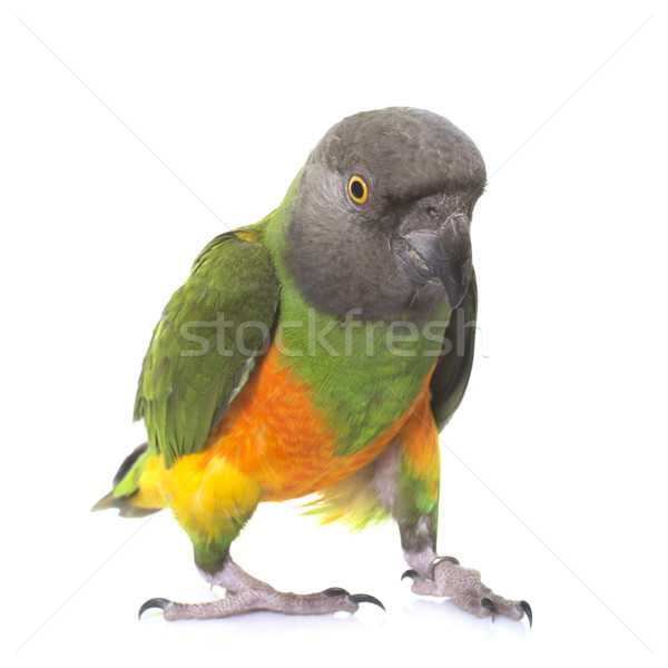 Sénégal perroquet studio blanche oiseau plumes Photo stock © cynoclub
