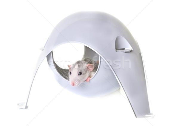 Rata juguete jóvenes jugando animales Foto stock © cynoclub