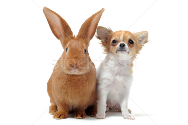 puppy chihuahua and bunny Stock photo © cynoclub