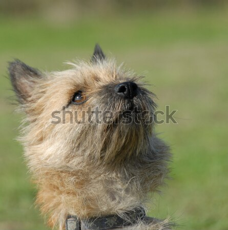 cairn terrier Stock photo © cynoclub