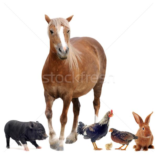 Zwierzęta gospodarskie grupy biały bunny studio chick Zdjęcia stock © cynoclub