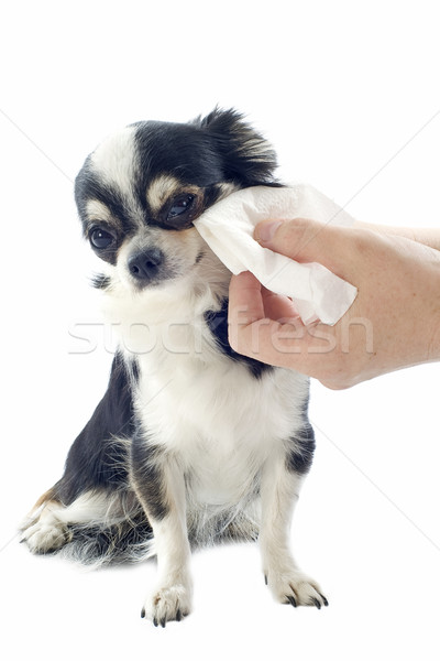 grooming of chihuahua Stock photo © cynoclub