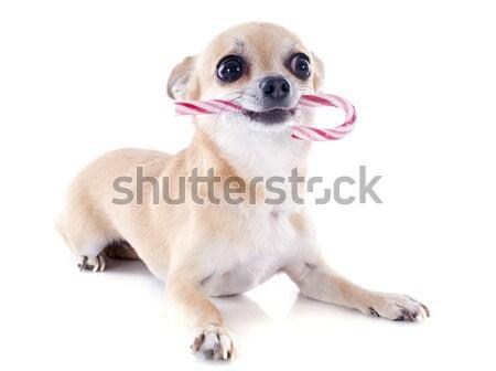 Kort haar portret cute puppy jonge Stockfoto © cynoclub
