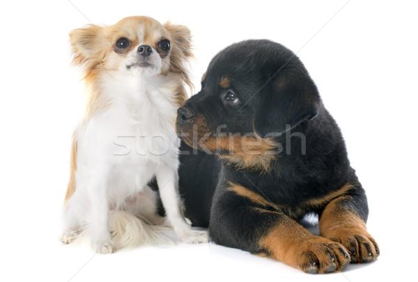 щенков ротвейлер портрет черный молодые дружбы Сток-фото © cynoclub